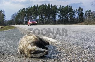 Ein Dachs ist Opfer des Strassenverkehrs / Schweden  -  Skandinavien