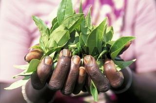 Eine Tee Pflueckerin in den Tee Plantagen von Nuwara Eliya im Zentrum von Sri Lanka in Asien.