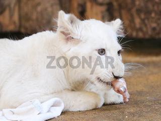weißes weibliches Löwenbaby bei der Namenstaufe im Zoologischen Garten in Magdeburg am 26.7.2016
