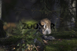 Eurasischer Luchs, Nordluchs, Felis lynx, Lynx lynx, Eurasian Lynx