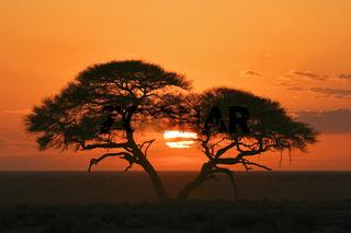 Schirmakazie, Akazie (Acacia tortilis), Sonnenaufgang, Etosha-Nationalpark, Namibia, Afrika, Umbrella Thorn Acacia, Etosha NP, Africa