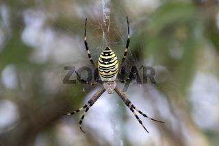 Spider on spiderweb