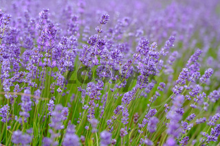 Lavenders Close Up View