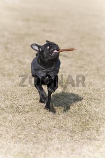 Schwarzer Mopswelpe / Black pug puppy