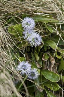 Dianthus monspessulanus L., Ysop Nelke
