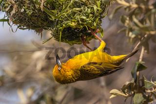 Gelber Webervogel beim Nestbau