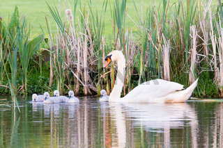 White mother swan swimming with chicks