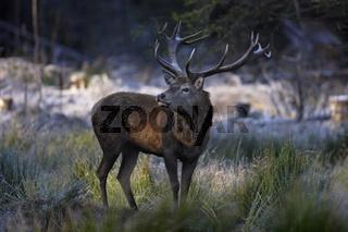 Rothirsch, Cervus elaphus, red deer