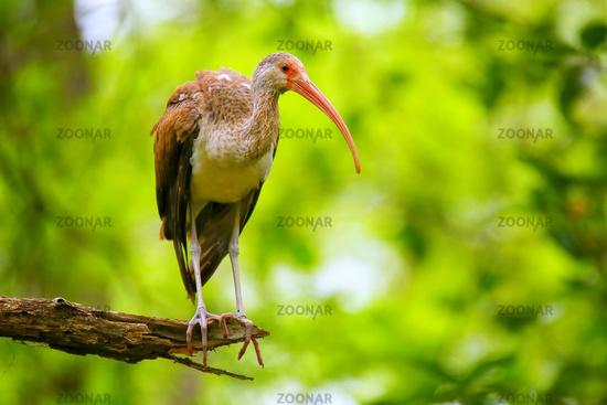 Immature white ibis sitting on a tree
