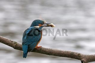 Eisvogel, Alcedo atthis, European kingfisher, Common kingfisher
