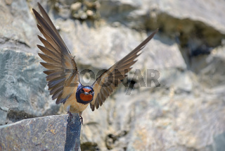 Swallow, Hirundo rustica