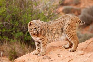 Bobcat standing on red rocks