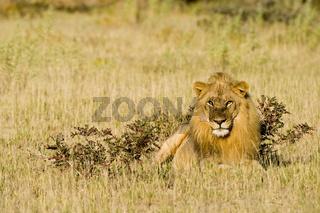 Loewe (Panthera leo), maennlich, Etosha-Nationalpark, Namibia, Afrika, male Lion in Etosha National Park, Africa