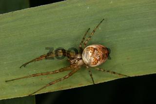 Veraenderliche Krabbenspinne / Goldenrod crab spider (Misumena vatia)