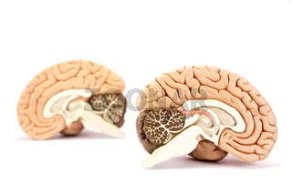 Human brains model isolated on white background