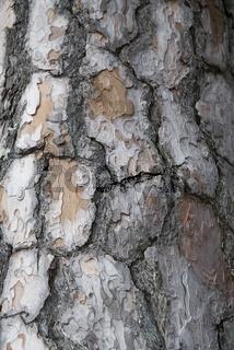 Baumstamm einer Föhre, Kiefer (Pinus)