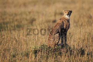 Gepard auf Termitenhügel, Masai Mara Game Reserve.