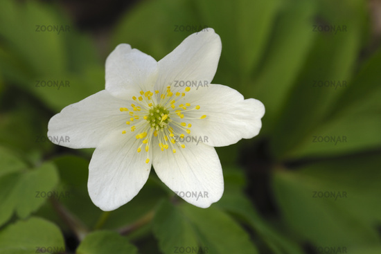 thimbleweed or windflower, Anemone nemorosa, germany