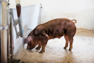 Brown pig eating grain