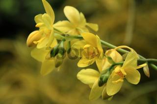 Vanda, Orchidee