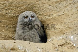 wie ein kleiner Buddha... Europäischer Uhu *Bubo bubo*, Nestling sitzt im Eingang der Bruthöhle