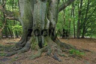 bemooster Stamm einer alten Buche, Fagus, Urwald Sababurg, Hesse