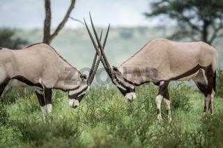 Two Gemsbok fighting in the grass.