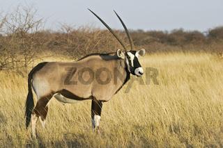 Oryxantilope, Spiessbock (Oryx gazella), Etosha-Nationalpark, Namibia, Afrika, Gemsbok, Gemsbuck, Etosha NP, Africa