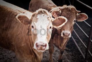 Zuchtbullen im Stall
