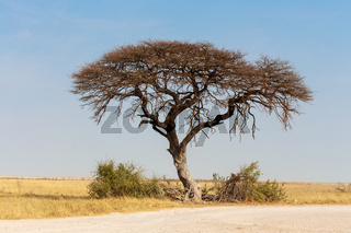 Acacia tree in the plain of Africa