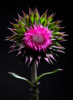 Thistle flower on black background