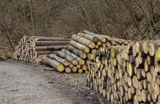 forest and wooden logs