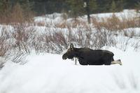 walking through deep snow... Moose *Alces alces*