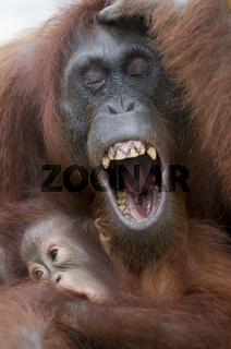 Borneo-Orang-Utan Mutter mit Jungem / Orangutan / Pongo pygmaeus