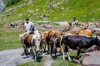 Shepherd guiding cows, Truso valley