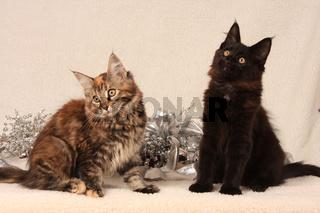 Norwegische Waldkatze, zwei Kaetzchen, Norwegian forest cat, two kitten