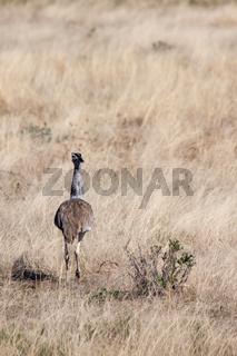 Kori Bustard Running Through Savannah in Etosha National Park, Namibia