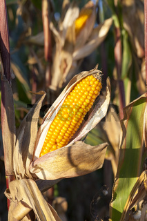 Ripe corn cob