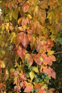 herbstlich verfärbter Wilder Wein ,Parthenocissus tricuspidata