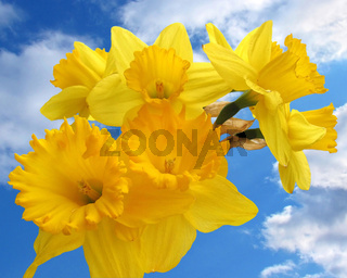 Spring flower - bouquet of daffodils