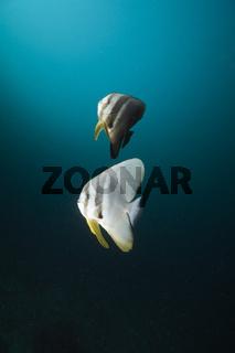 Langflossen-Fledermausfisch mit Zweifarben-Putzerfische