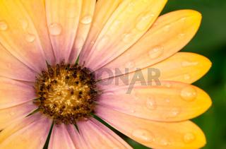 Petals of a yellow osteospermum flower