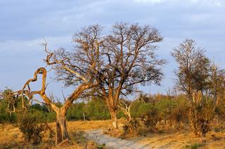 Lichter Baumbestand in der Savannenlandschaft im Moremi Nationalpark