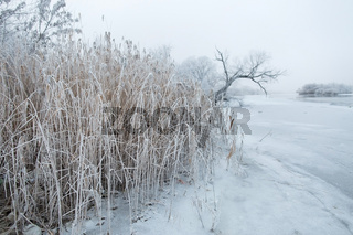 frost on the reeds