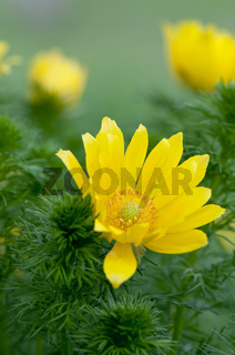Frühlings Adonisröschen (Adonis vernalis) - Spring Pheasant s Eye