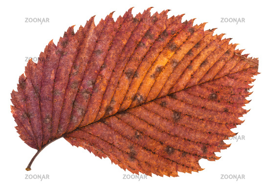 pied red autumn leaf of elm tree isolated
