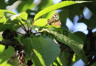 Laubfalter in grünem Blätterwerk