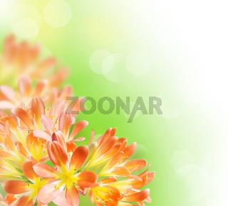 Floral Border (Kafir-lily)