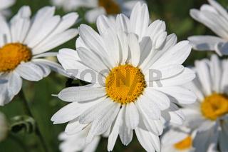 Close-up of large white ox-eye daisies (Leucanthemum vulgare)