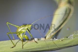 Punktierte Zartschrecke (Leptophyes punctatissima) putzt sich *  Bush Cricket (Leptophyes punctatissima) deseams itself